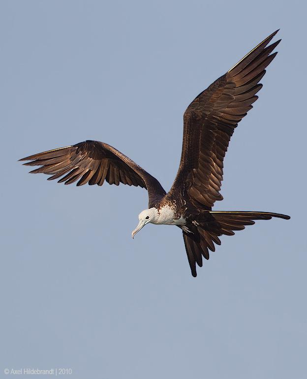 MagnificentFrigatebird15c6884.jpg