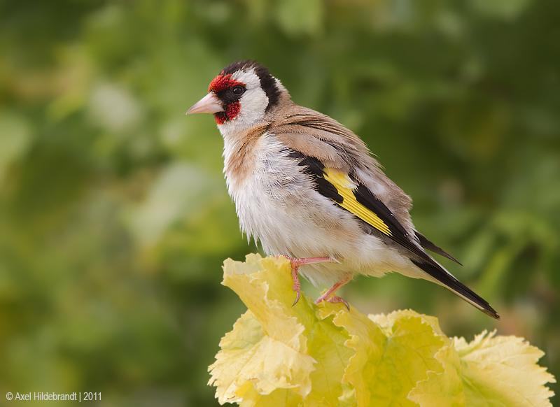EuropeanGoldfinch01c2306.jpg