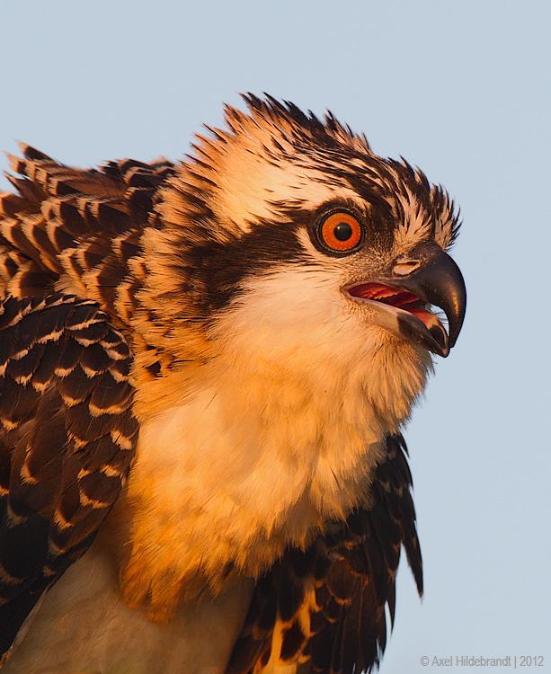 Osprey64c2487.jpg
