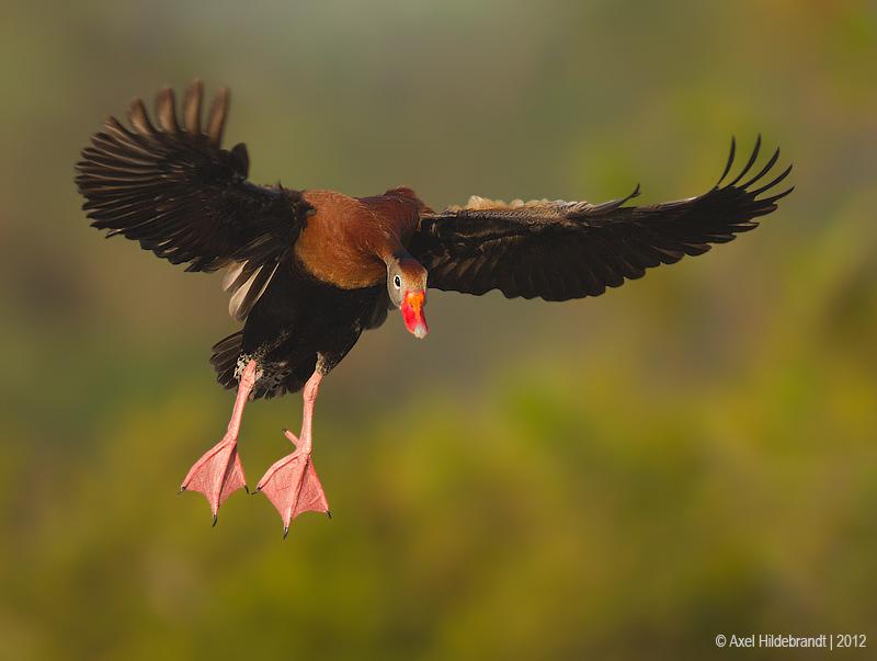 Black-belliedWhistling-Duck15c6134.jpg