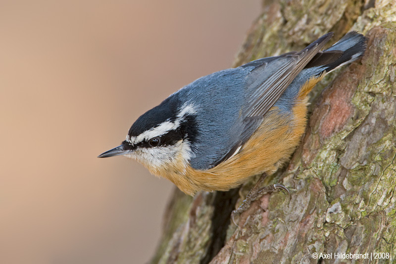 Red-breastedNuthatch71c9897.jpg