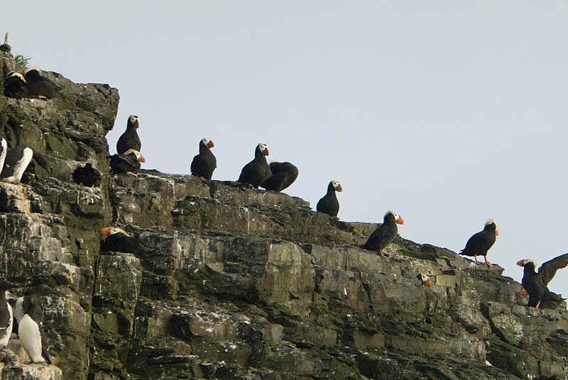 Puffins nesting, Cape Monati