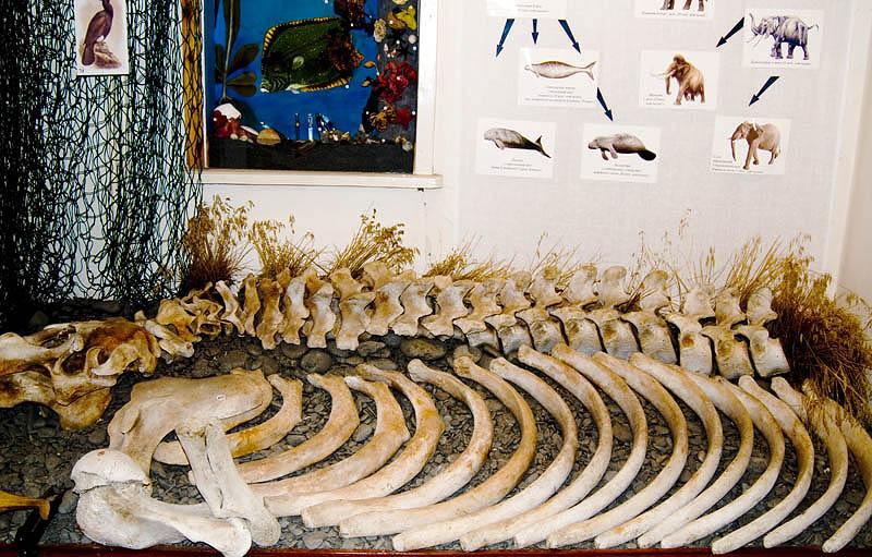 Skeleton of the extinct Stellers sea cow in the Nikolskoye museum