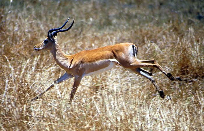 Impala, Liwonde National Park