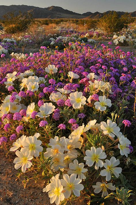 CA - Mojave Desert - Flower Field Dune Evening Primrose