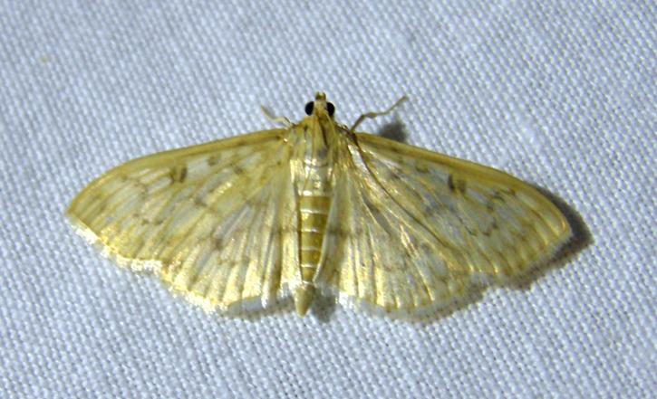 Herpetogramma moth micro Light
