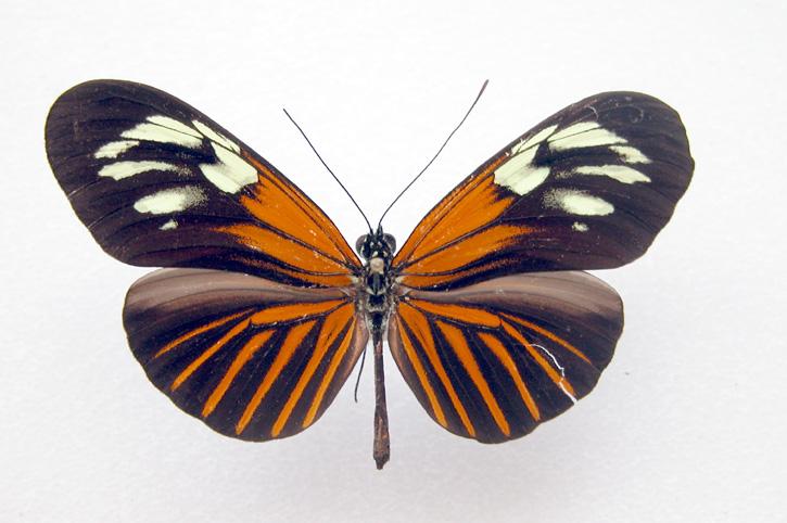 Heliconius erato form amazona