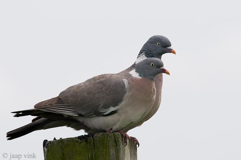 Wood-Pigeon - Houtduif - Columba palumbus