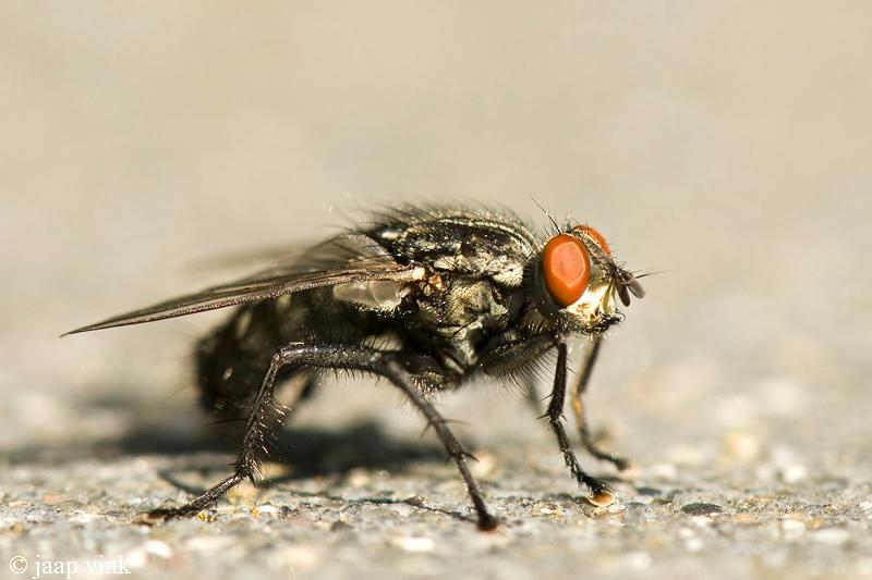 Common Flesh Fly - Dambordvlieg - Sarcophaga carnaria