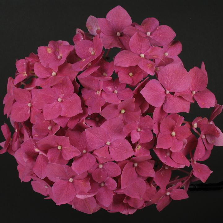Crimson Hydranchea
