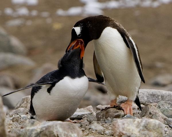 Gentoo Penguin 3