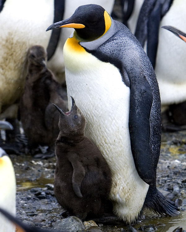 King Penguin with Chick 2