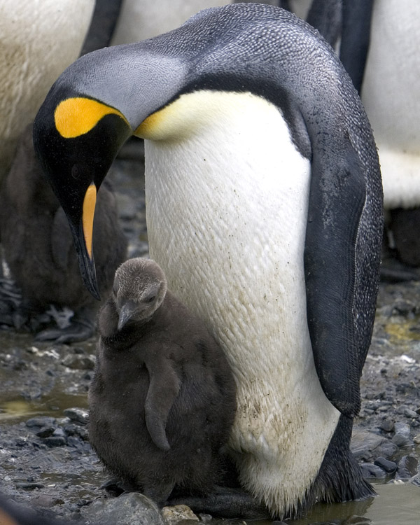 King Penguin with Chick 3