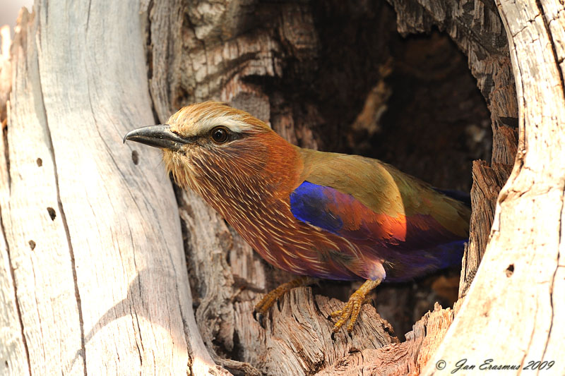 Purple Roller at nest.jpg