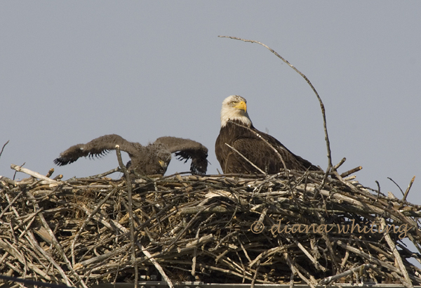 Eagle with Chick 2