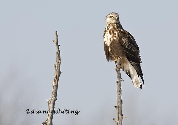 Rough Legged Hawk 7