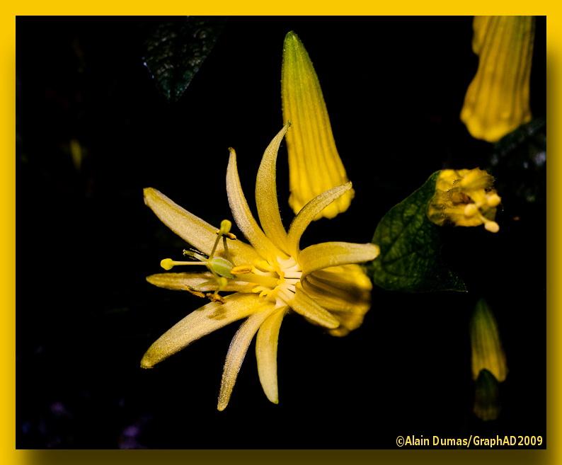 Passiflore - Passion Flower