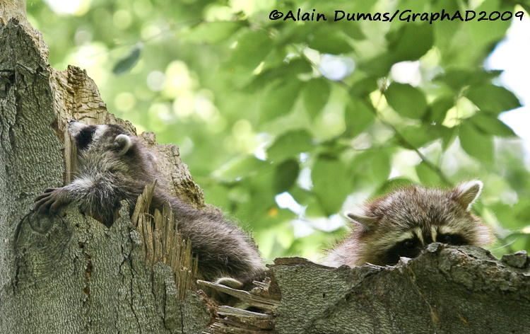 Ratons - Racoons