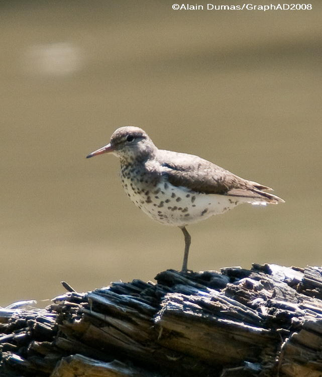 Chevalier Grivelé - Spotted Sandpiper 007