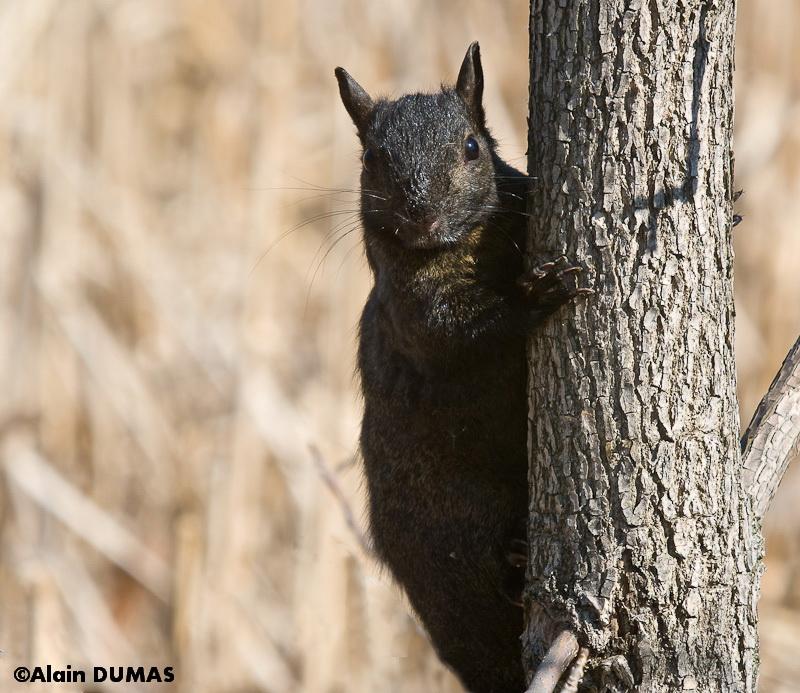 Écureuil Gris (Mélanisme Noir) -  Eastern Gray Squirrel (Black Melanism)