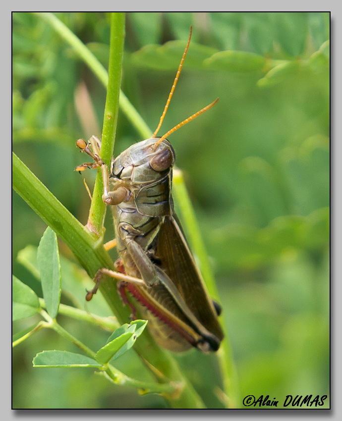 Mélanople birayé - Yellow-striped grasshopper