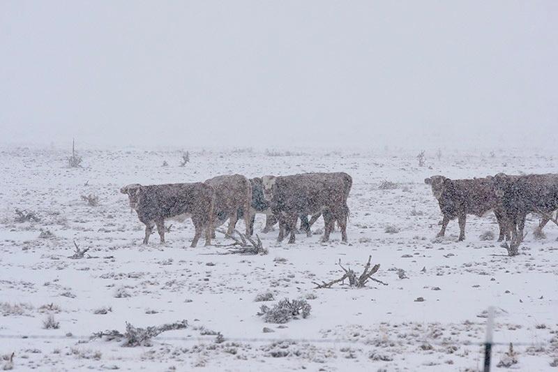 Snowfall in Desert Scrub