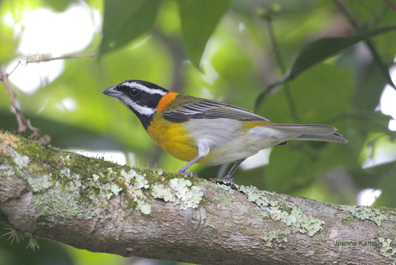 Stripe headed Tanager
