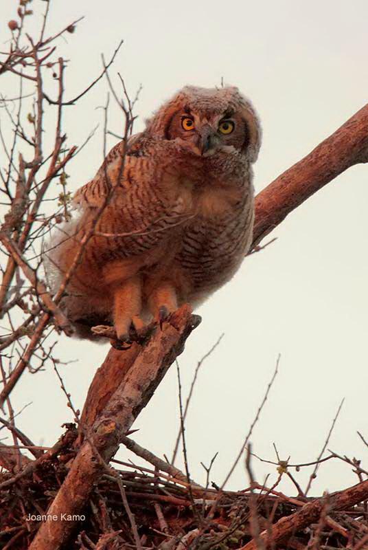 Great Horned Owl-juve