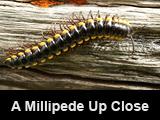 A Millipede Up Close