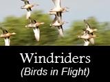 Windriders (Birds in Flight)