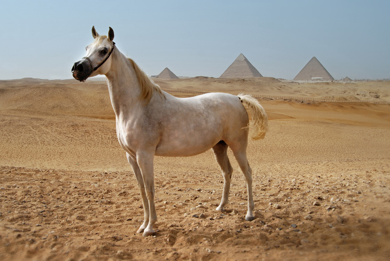 King of the Wind The Story of the Godolphin Arabian