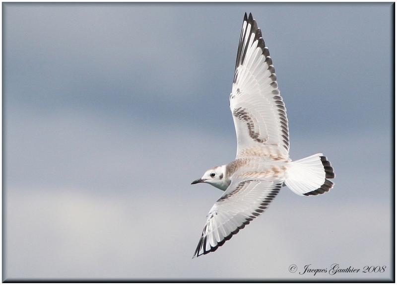 Mouette de Bonaparte ( Bonapartes Gull )