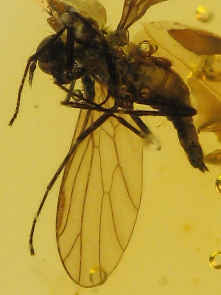 Baltic amber fly 3.jpg