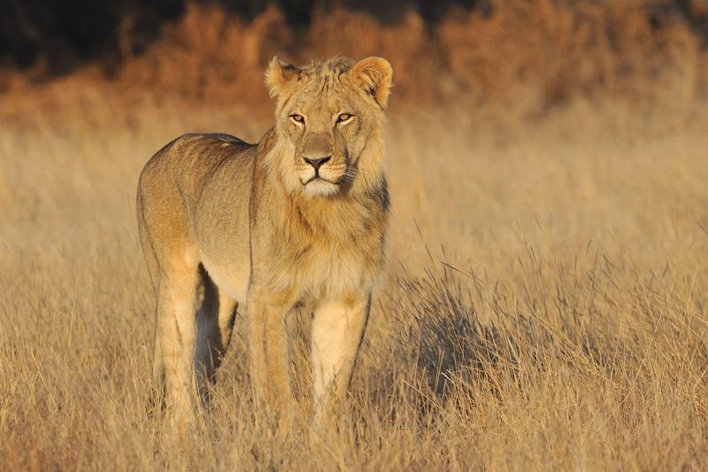 Lion Staring II.jpg