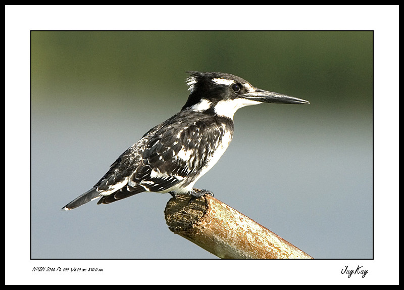 Striped King Fisher 4