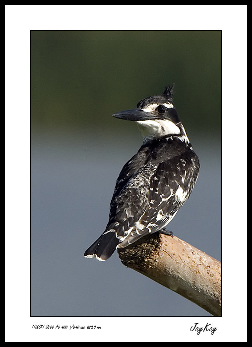 Striped King Fisher 5