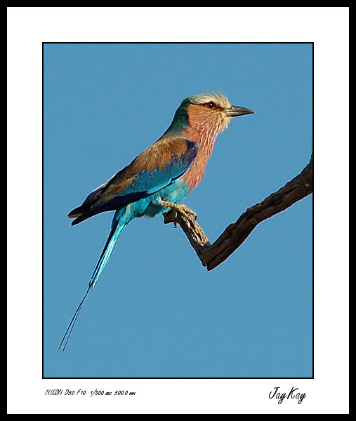 Lilac Breasted Roller 3