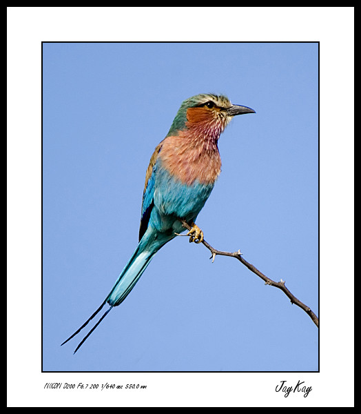Lilac Breasted Roller 4
