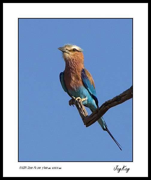 Lilac Breasted Roller 6