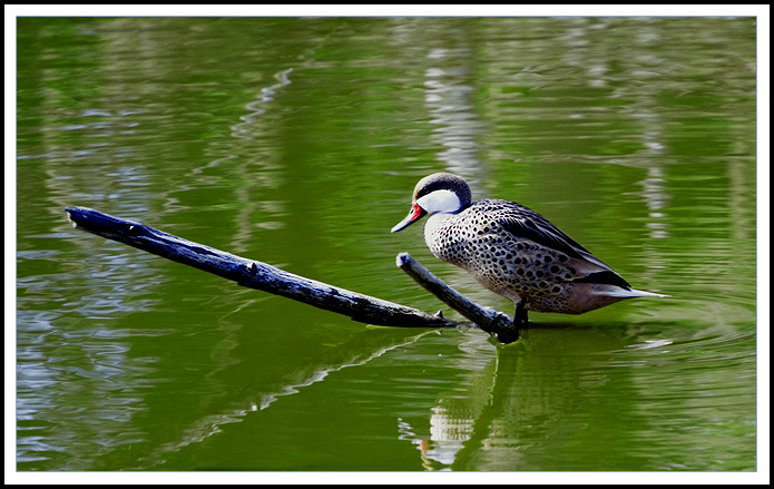 Duck on a Branch