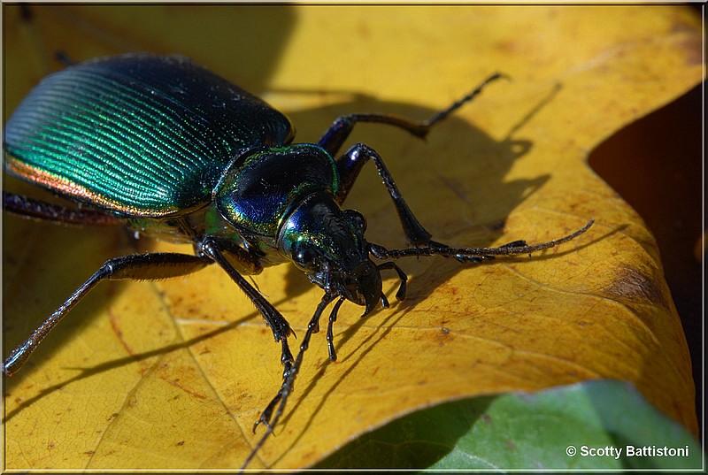 Emerald Beetle 1.JPG