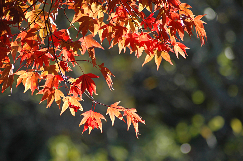 Backlight Through The Maple Leaves