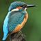 kungsfiskare_avatar.jpg