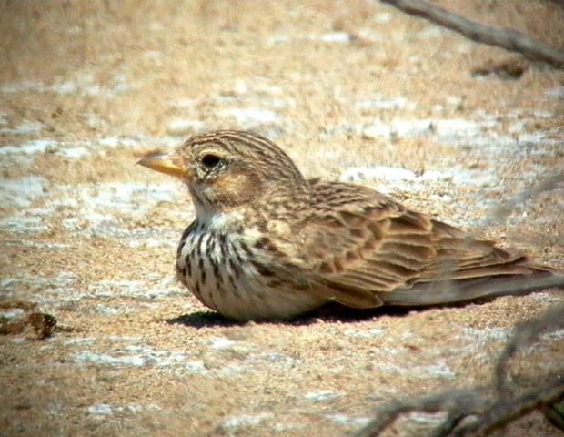 Lesser Shor-toed Lark - Calandrella rufenscens - Terrera marismeña - Terrerola rogenca