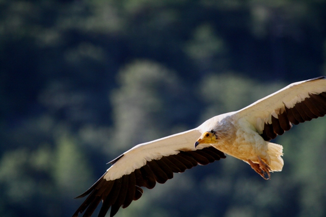 Egyptian Vulture - Neophron percnopterus - Alimoche - Aufrany