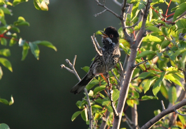 Adult male Cyprus Warbler - Sylvia melanotorax - macho adulto Curruca chipriota - Tallarol de Xipre mascle adult