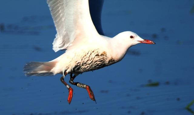 Ringed adult Slender-billed Gull - Larus genei - Gaviota Picofina adulta y anillada - Gavina Capblanca adulta i anellada