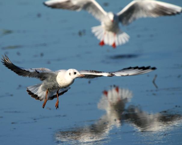 Black-headed Gull 1st winter - Larus ridibundus - Gaviota reidora primer invierno- Gavina riallera volant edat primer hivern