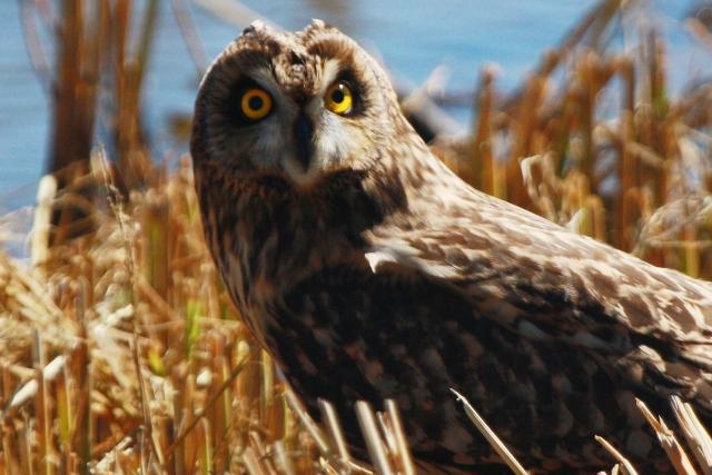 Short-eared Owl - Asio flameus - Buho o lechuza Campestre - Mussol Emigrant