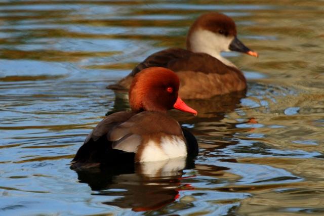 Red crested Pochard - Neta rufina - Pato colorado - Xibec